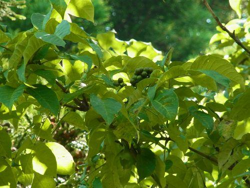 キハダの葉と実