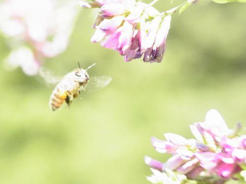 萩とニホンミツバチ