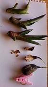 2012リュウゼツラン種・新芽?
