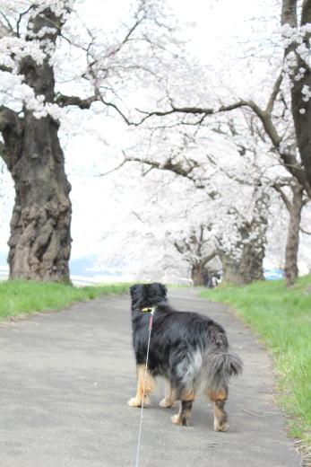 桜のトンネルですのね!