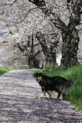 桜の絨毯ですのね☆