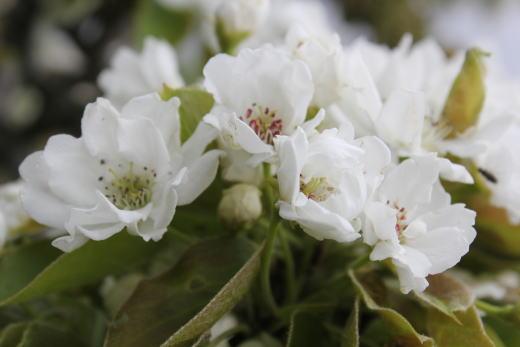 りんごのお花