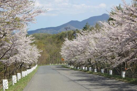 桜も咲いてたのだ