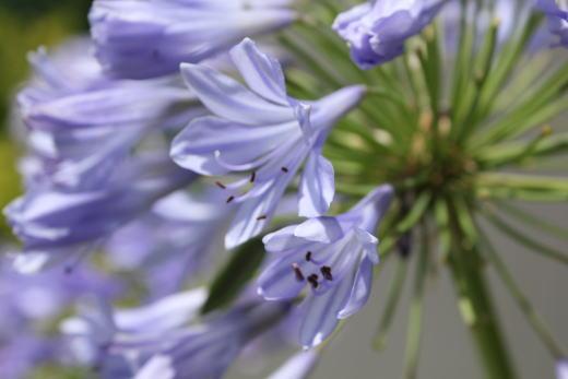 お花もブルー