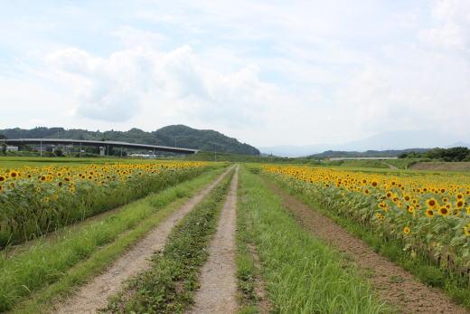 ひまわり畑~~