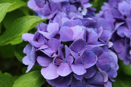 しつこく紫陽花~