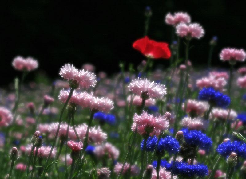 120519花の国ネモフィラ3