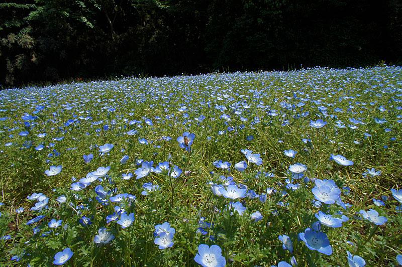 120519花の国ネモフィラ1