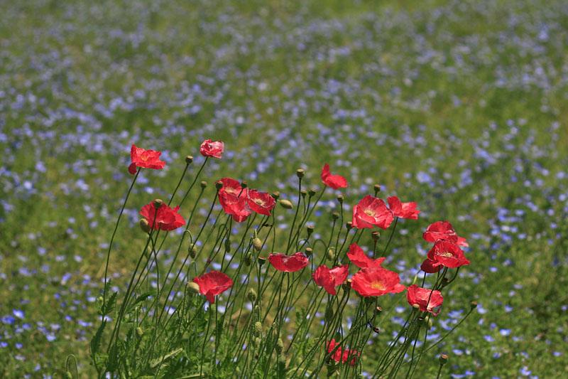 120519花の国ネモフィラ2