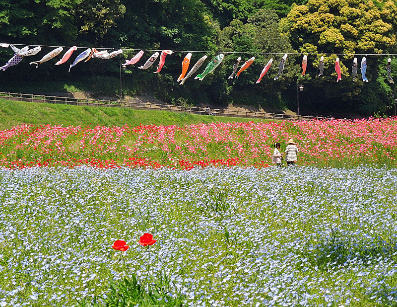 120519花の国ネモフィラ4
