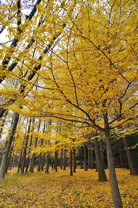 121202根岸森林公園の銀杏3