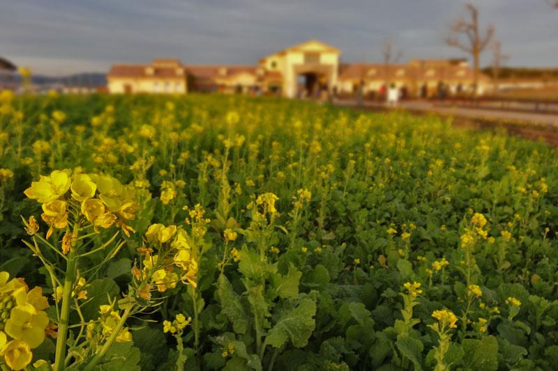 130106ソレイユの丘の菜の花1