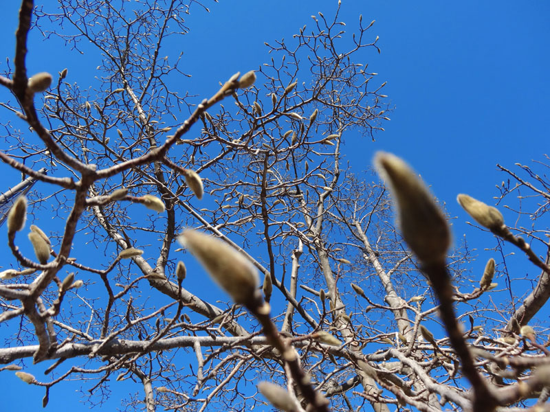 130111辛夷の冬芽3