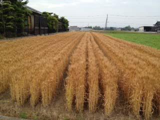 小麦1205