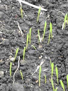 小麦発芽1207