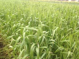 小麦0413