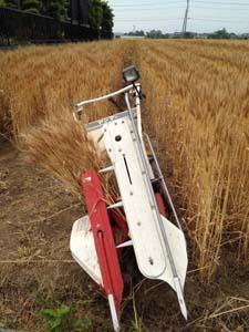 小麦0524