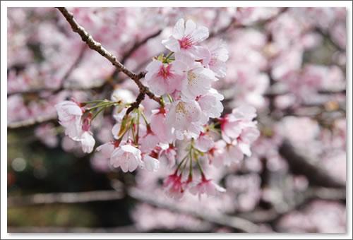 あしびの郷 彼岸桜