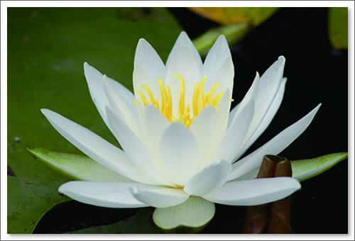 明日香の蓮の花