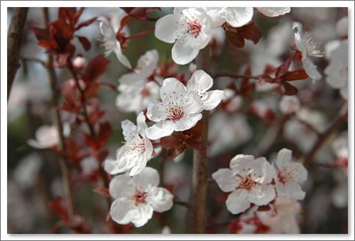 あしびの郷 紅すももの花