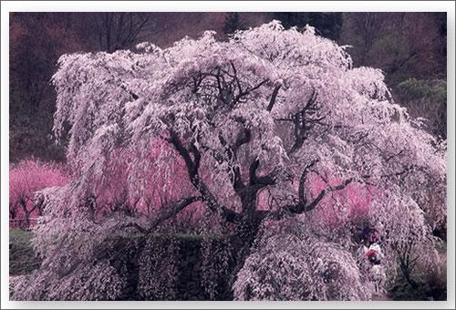 大宇陀又兵衛の枝垂れ桜