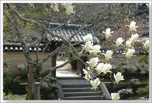浄瑠璃寺の木蓮