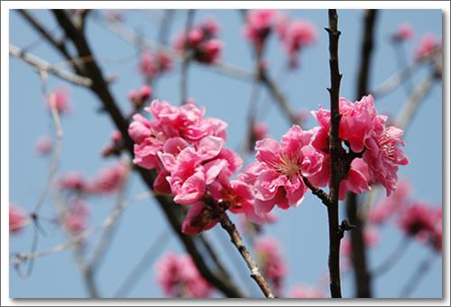 あ志び乃店 桃の花