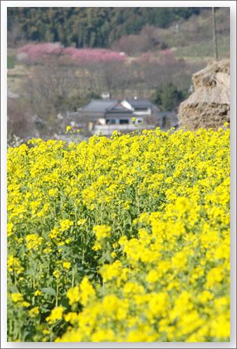 明日香の菜の花