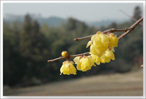 明日香の蝋梅