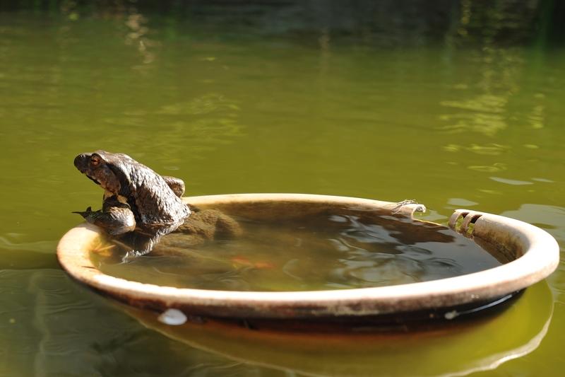 産卵に来ているヒキガエル