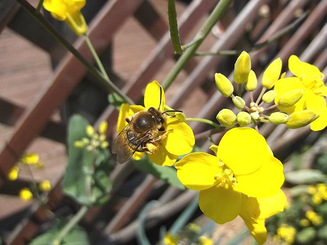 のらぼうにミツバチ