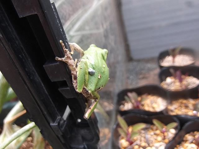 水槽ハウスのヘリにカエル
