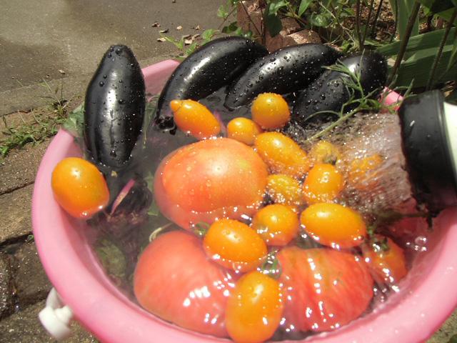 獲ってきた野菜を洗う