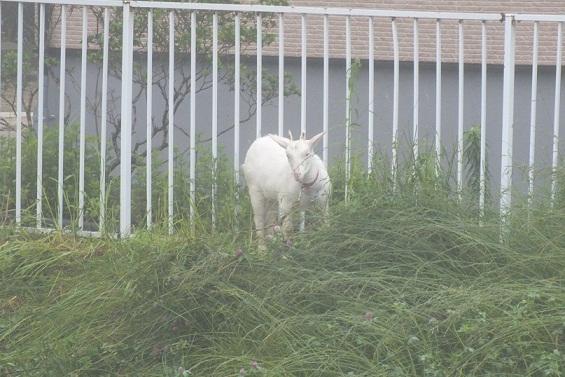 錦岡の湯のヤギ