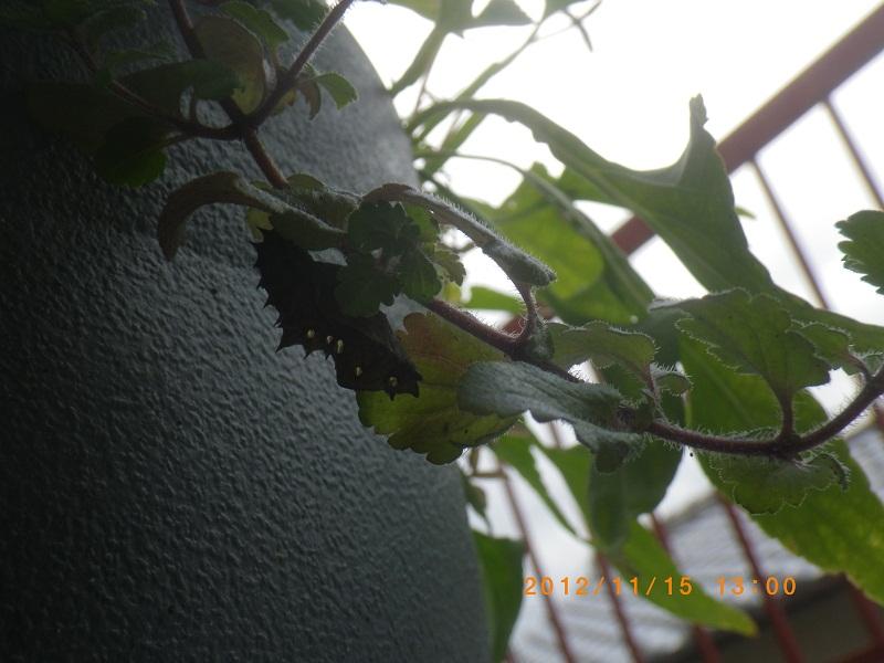 ツマグロ幼虫2