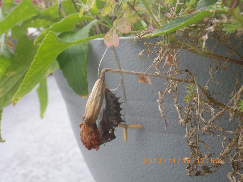 ツマグロ幼虫1