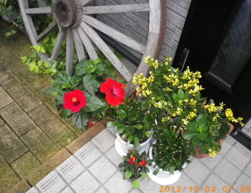 2012.10.5つぼみ目のハイビちゃんと4つぼみ目のハイビちゃんの2日目①