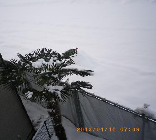 2013年1月15日の2階から見たヤシの木