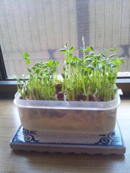 豆苗 再水栽培
