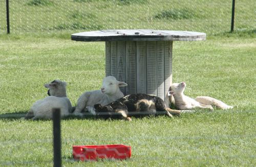 羊の国のラブラドール絵日記シニア!!「こら!そこのファーム・ドッグ!」写真1