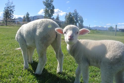 羊の国のラブラドール絵日記シニア!!「大人の階段のぼる」2