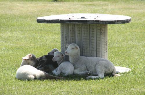 羊の国のラブラドール絵日記シニア!!「明日は特別スペシャルデー」2
