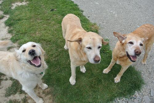 羊の国のラブラドール絵日記シニア!!「Dog's Party」9