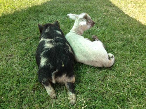 羊の国のラブラドール絵日記シニア!!「(朝)6時だよ!全員集合!」写真1