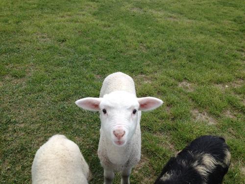 羊の国のラブラドール絵日記シニア!!「テオテオ7(セブン)」2