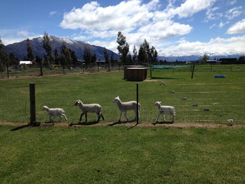 羊の国のラブラドール絵日記シニア!!「レイトショー」写真1