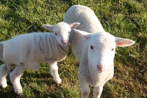 羊の国のラブラドール絵日記シニア!!「主役な俺様」写真7