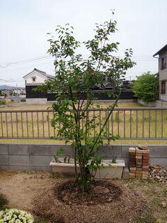 ジュンベリーの木
