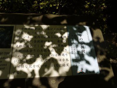 天福寺の菩提樹 説明
