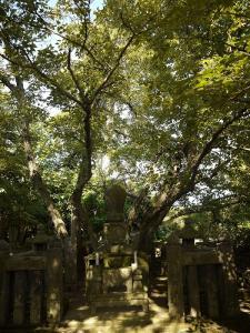 天福寺の菩提樹